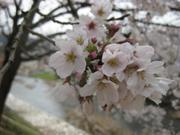 Sakura1_5