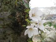Sakura2_5